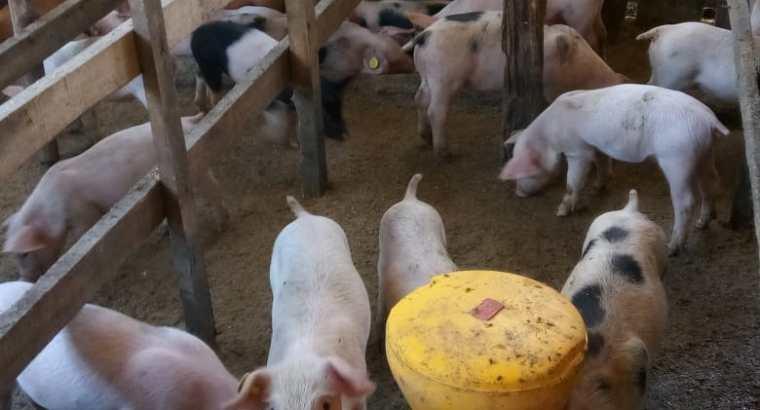 Cerdos de genética