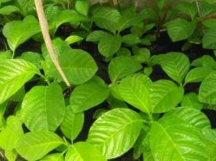 Plantas de granadillo
