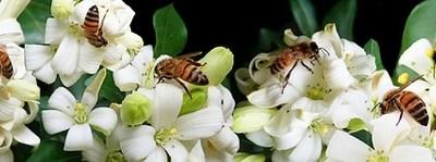La polinización artificial controlada como solución a la falta de abejas