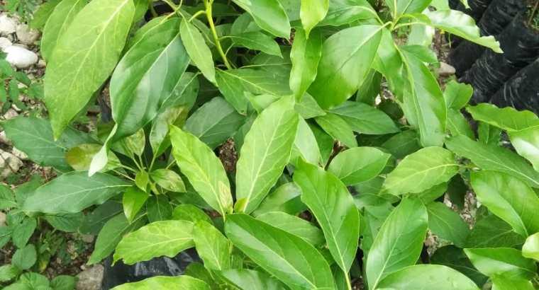 Plantas aguacate Carla