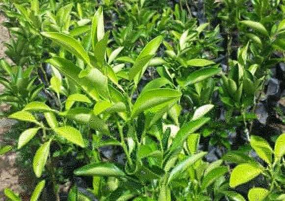 Plantas naranjas dulces