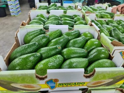 Crece la demanda de aguacates de piel verde en europa