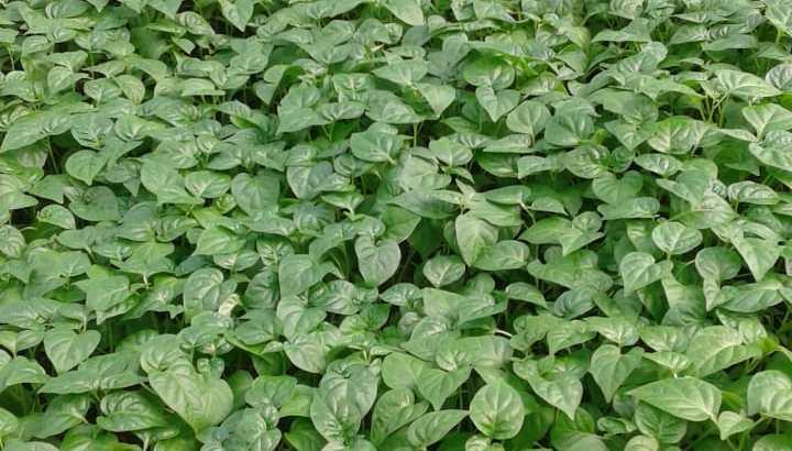 Plantas de aji thai chile