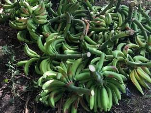 Plátanos criollos