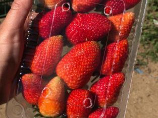 Fresas en plaros