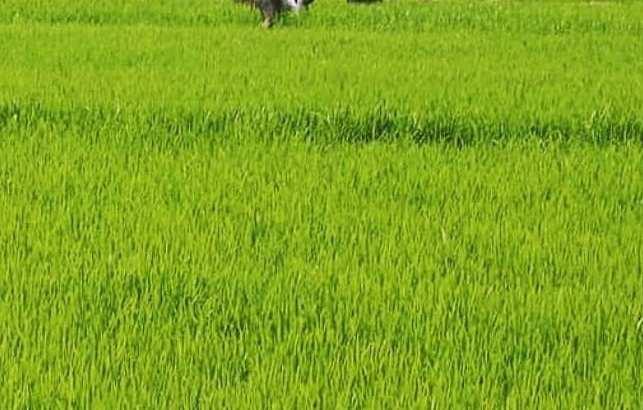 Se vende finca de arroz