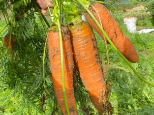 Zanahorias selectas
