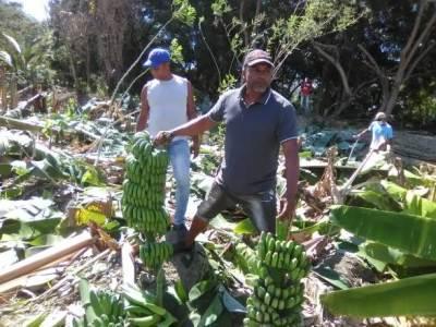 Productores de plátanos acusan Consorcio Azucarero por destrucción de plantaciones