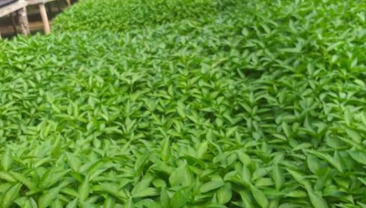 Plantas de aji