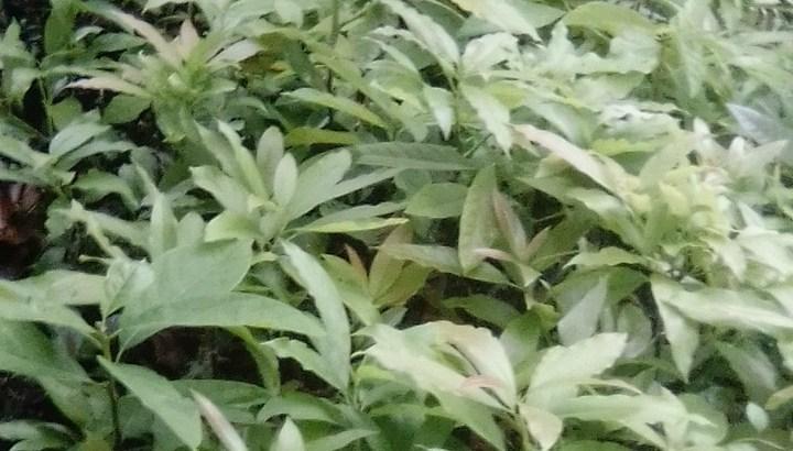 Plantas de aguacate beneke