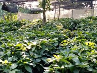 Plantas de aguacate Popenoe