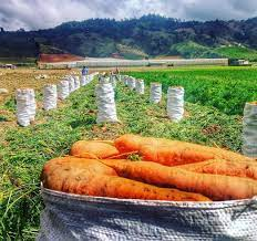Realizan la primera exportación de zanahorias dominicanas a Puerto Rico
