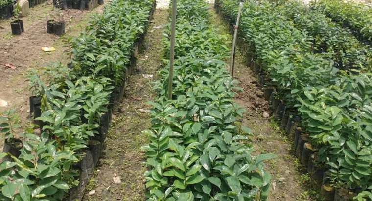 Plantas de guanábana