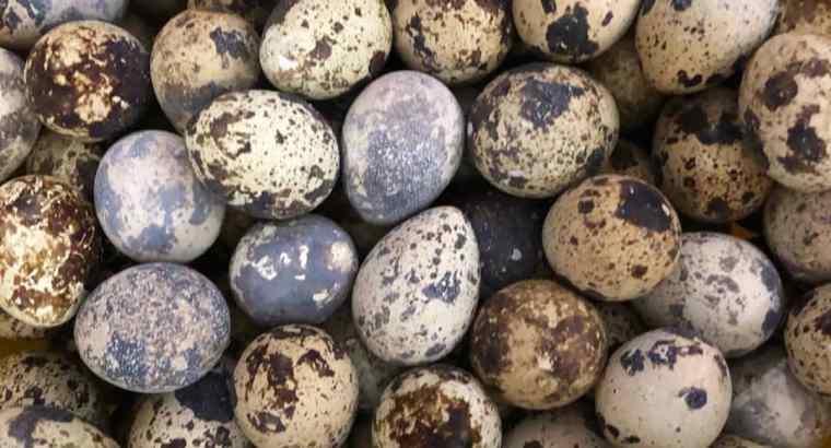 Huevos de codornices