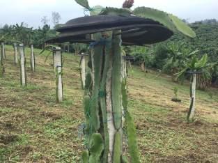 Pencas de pitahaya