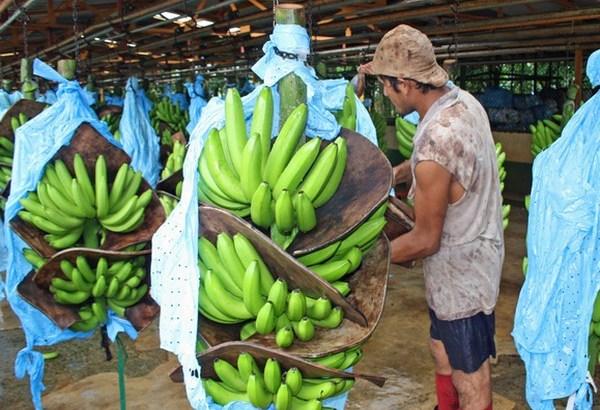 Un futuro mejor para los trabajadores del banano de la República Dominicana
