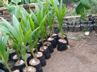 Matas de coco hibrido