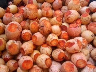 Compramos semillas aguacate criollo