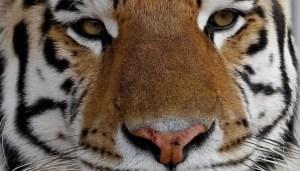 野生トラを保護せよ!