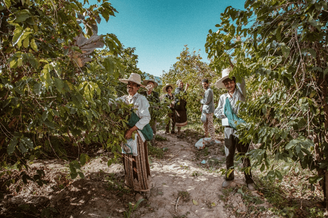 Shai'aan village farmers picking coffee cherries (Photo provided by Sabcomeed)
