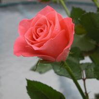 1-rosa