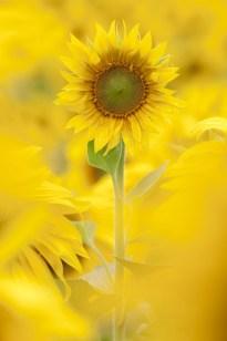 Sunflowers in full bloom in summer