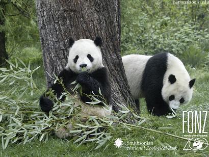 pandas.jpg
