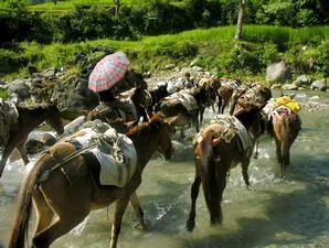 Barisan keledai melintas jalan yang tergenang sungai.