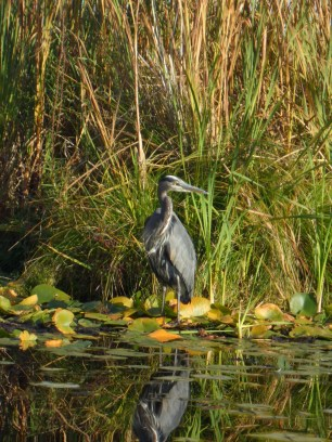A blue heron resting upon a lily pad