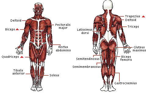 upper arm muscle diagram human fujitsu wiring body strengthening   ahcn