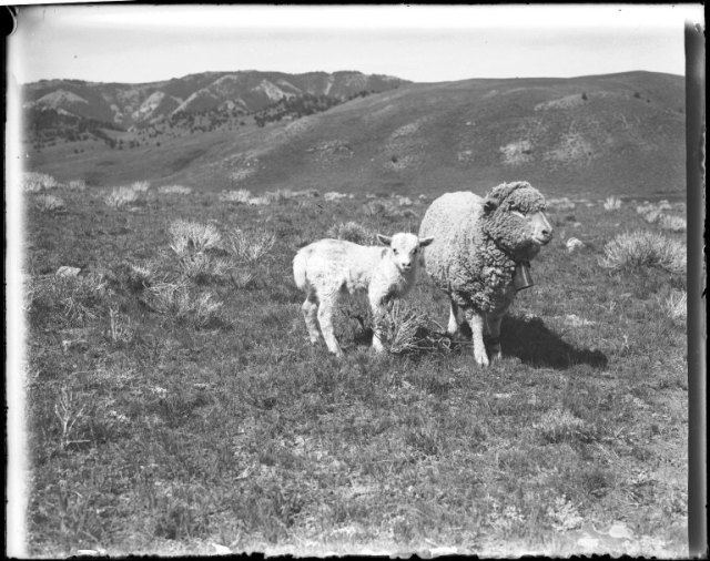 A ewe grazing with her lamb, Charles J. Belden Photographs, #598, Box 13, Item 1463 .  UW American Heritage Center.