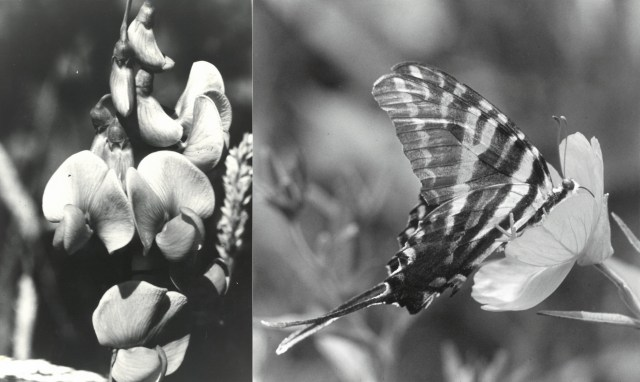 black and white image of flower and butterfly on an a flower