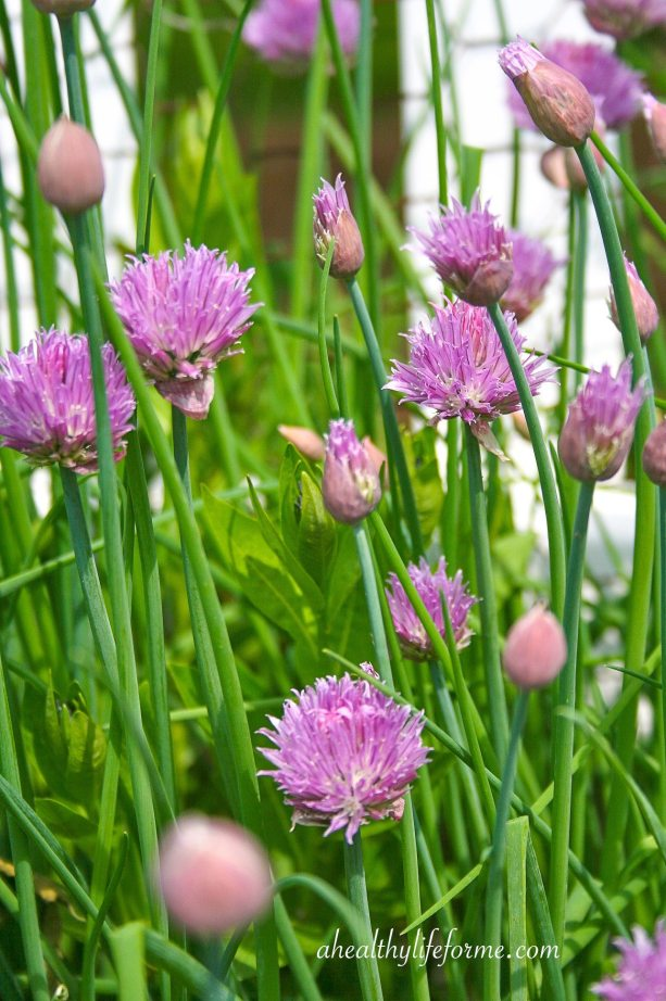 Chives Blooming in the Vegetable Garden