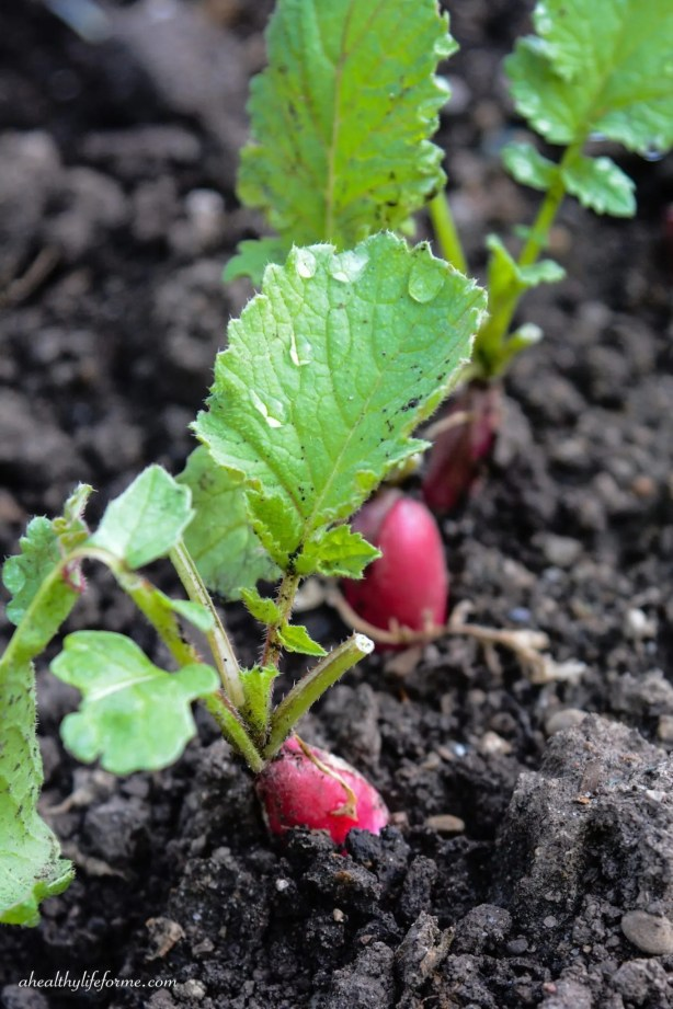 Radishes popping out of the soil | How to Grow Radishes | ahealthylifeforme.com