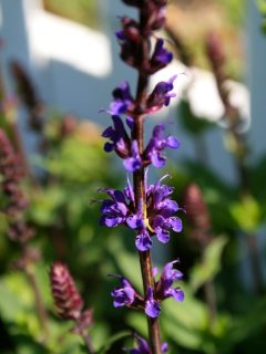 Growing Salvia; sage