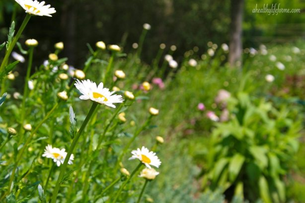 Shasta Daisy growing in a long naturalizing bed