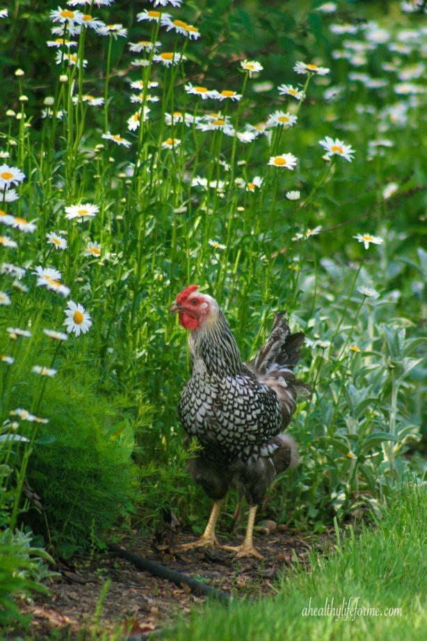Silver Wyandotte Chicken Free Ranging in Shasta Daisy Bed