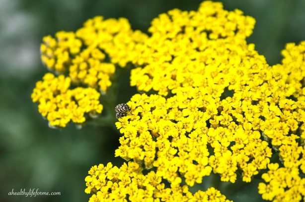 Yarrow | How to Grow and Care for Yarrow | ahealthylifeforme.com