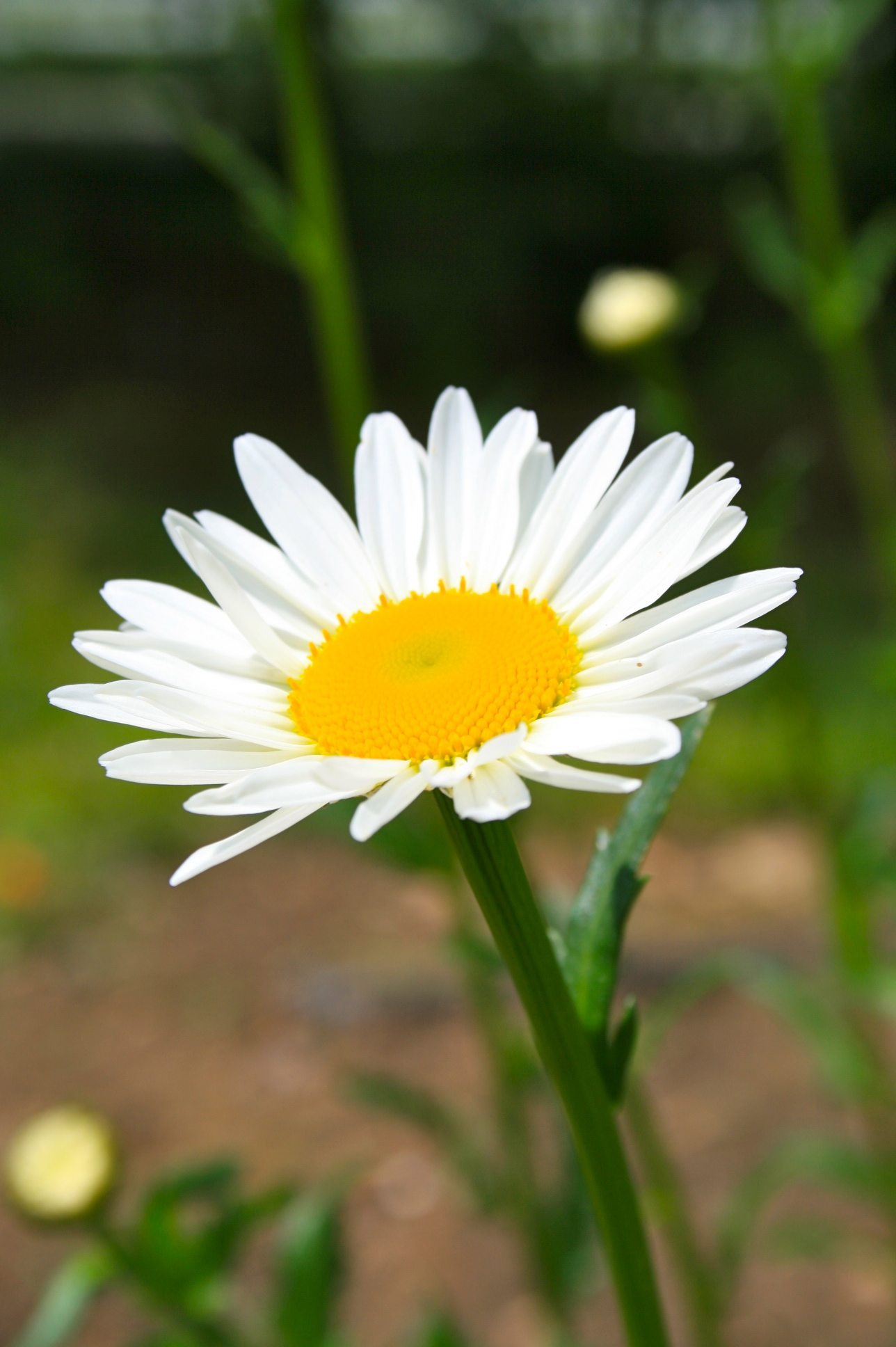 Beautiful Daisies Pictures, Photos, and Images for