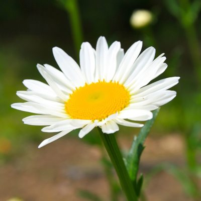 How To Grow Shasta Daisy
