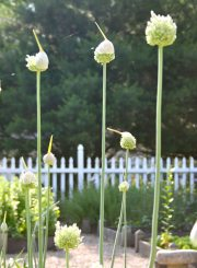 Onion blooms in the Kitchen Garden in late spring