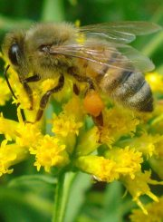 Honey Bee on Goldenrod