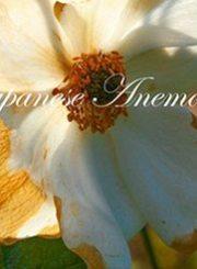 Japanese-Anemone