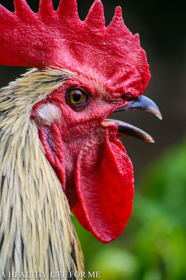 Maran Rooster Free Ranging in Garden October Garden to do list | ahealthylifeforme.com