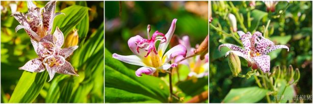 How To Toad Lily