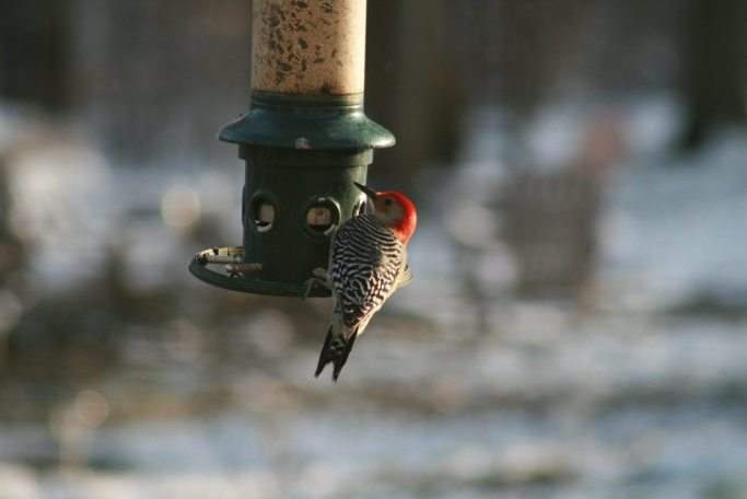 Red Bellied Woodpecker at the feeder in my backyard Cincinnati Ohio