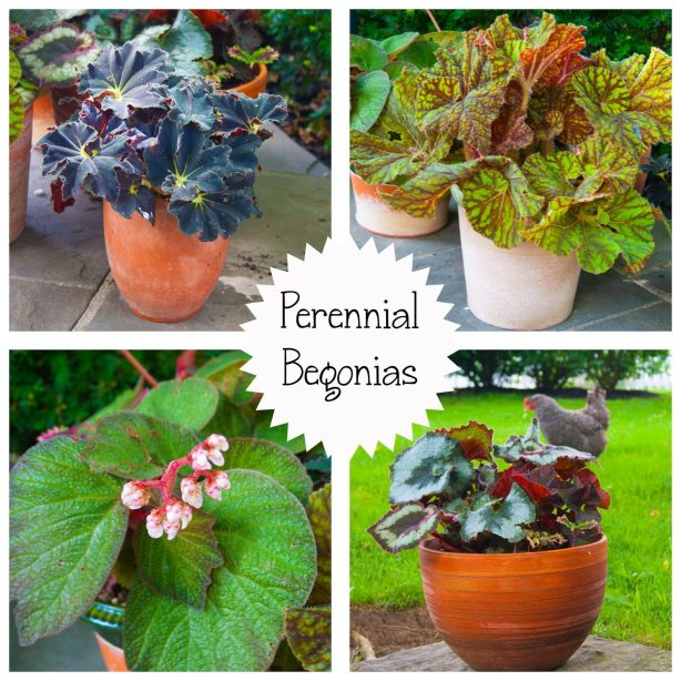 Perennial Begonia copy