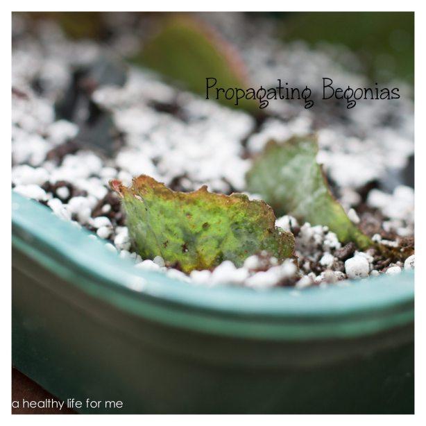 Propagating Begonias 2
