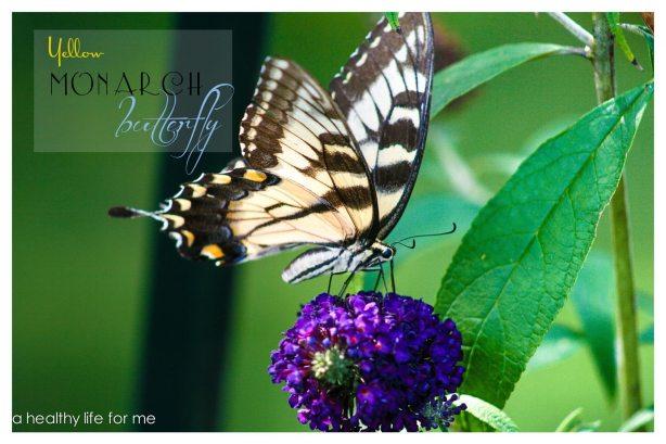 Yellow Monarch Butterfly on a Butterfly Bush in August