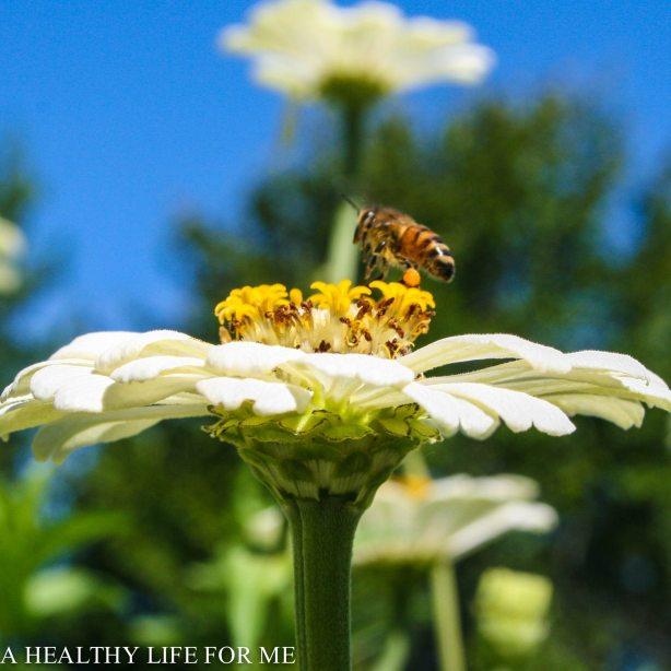 Honey Bee on a White Zinnia